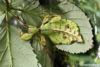 Phyllium siccifolium (Wandelndes Blatt)