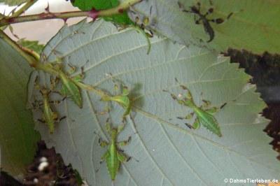 Junge Wandelnde Blätter