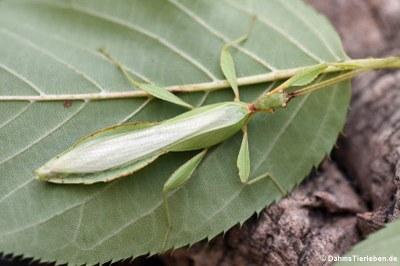männliches Wandelndes Blatt (Phyllium hausleithneri)