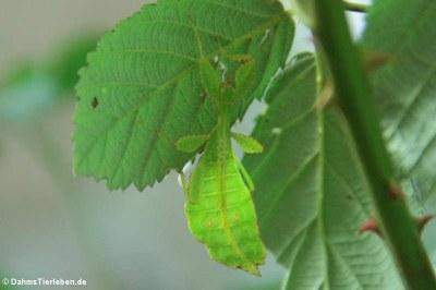 Wandelndes Blatt (Phyllium hausleithneri)