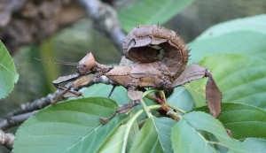 Australische Gespenstschrecke.jpg