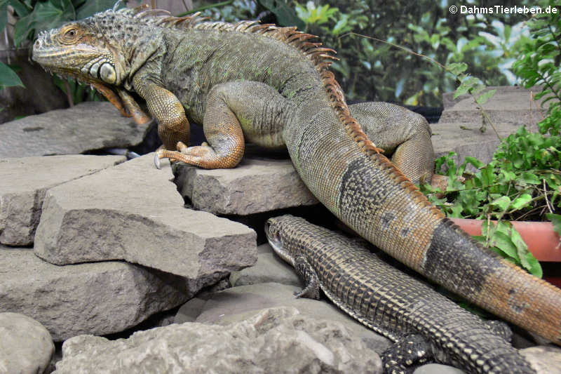 Broadleysaurus major