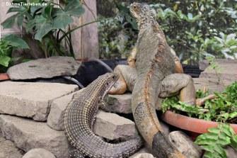 Schildechse und Grüner Leguan