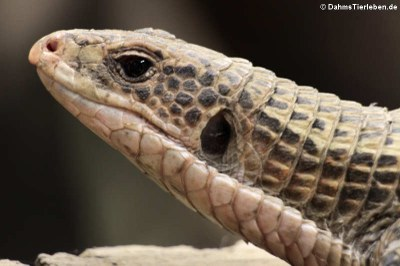 Die Sudan Schildechse (Broadleysaurus major)