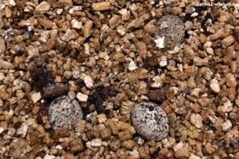 Eier im Inkubator