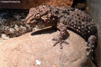 Turners Dickfingergecko (Chondrodactylus turneri)
