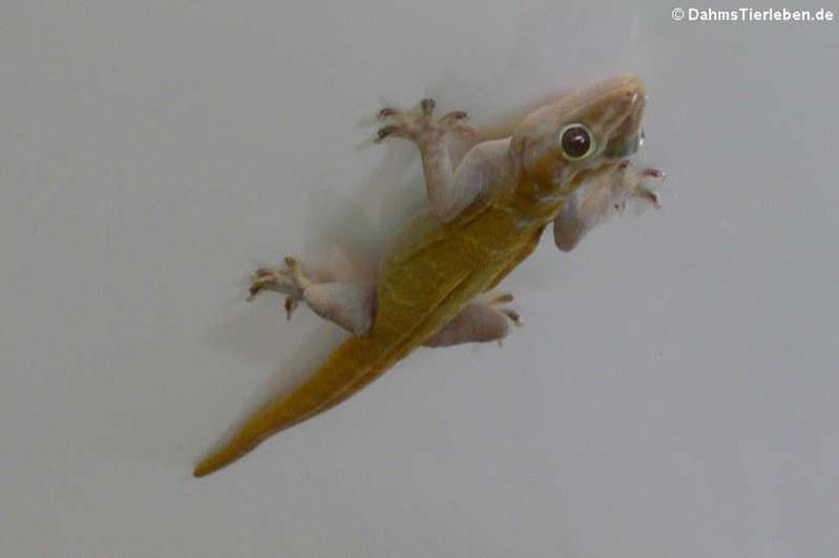 Gecko badenii