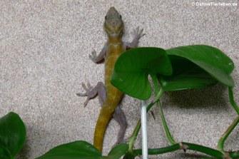 Goldgecko (Gekko badenii)