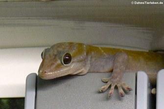 Die Geckos liegen immer auf der Lauer ...