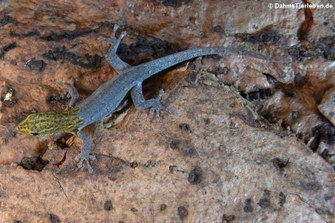 Lygodactylus picturatus (Gelbkopf Zwerggecko)