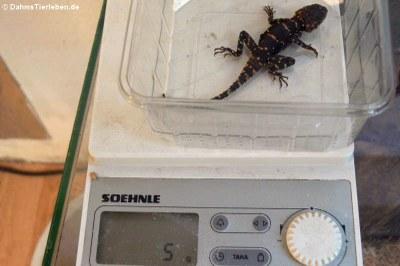 Dieses Jungtier wiegt 5 Gramm
