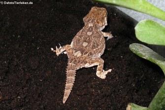 Helmkopfgecko (Tarentola chazaliae)