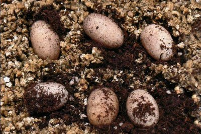 Ein Gelege, bestehend aus 6 Eiern