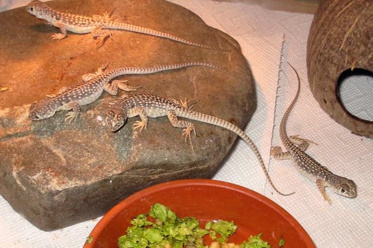Dipsosaurus dorsalis