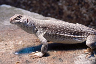 Wüstenleguan (Dipsosaurus dorsalis)