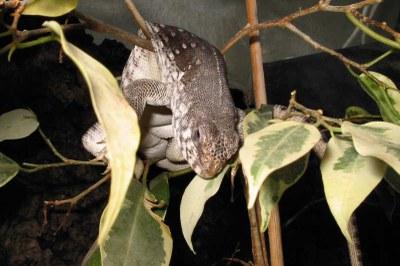 Schlafplatz Ficus