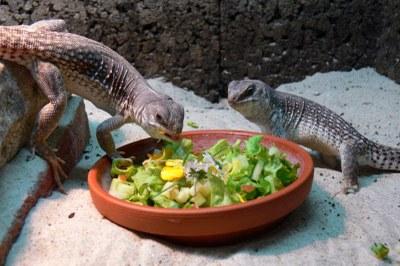 Wüstenleguane beim Fressen