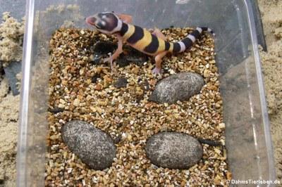 Gerade geschlüpfter Leopardgecko (Eublepharis macularius)