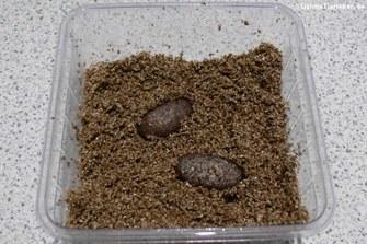 Ein Gelege wird für den Inkubator vorbereitet