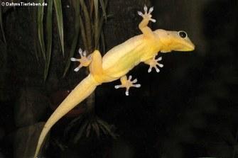 Gelbrückengecko (Gekko petricolus)
