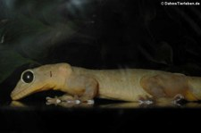Gelbrückengecko (Gekko petricolus) aus DahmsTierleben