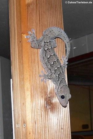 Siamesischer Grünaugengecko (Gekko siamensis)