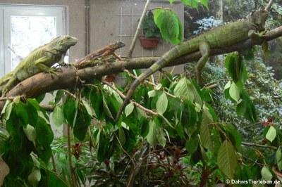 Grüne Leguane im Großterrarium