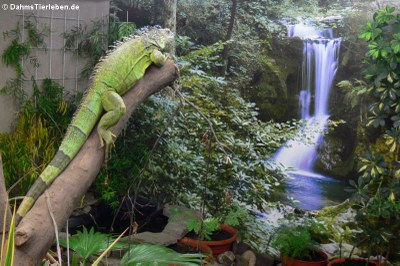Grüner Leguan (Iguana iguana) im Großterrarium
