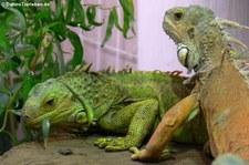 Grüner Leguan beim Fressen der Blätter