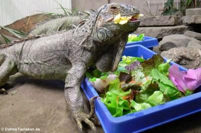 Leguan beim Fressen