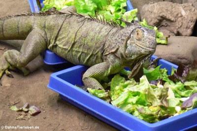 Grüne Leguane beim Fressen