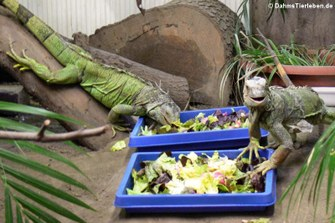 Leguane beim Fressen
