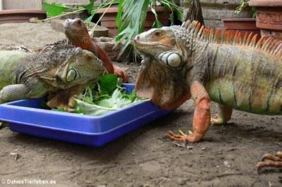 Grüne Leguane (Iguana iguana) im Großterrarium