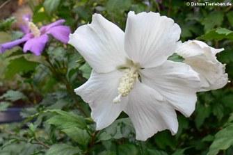 Straucheibisch (Hibiscus syriacus)