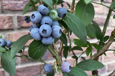 Heidelbeere oder Blaubeere (Vaccinium myrtillus)