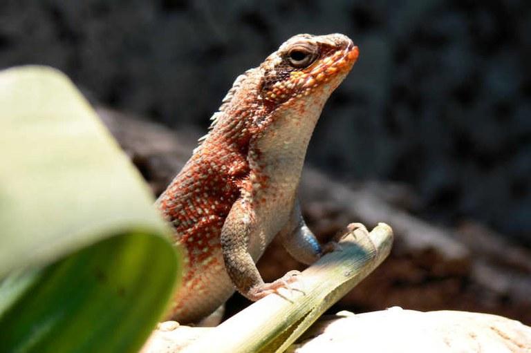 Leiocephalus personatus