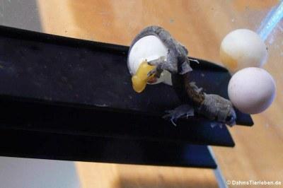 Gerade geschlüpfter Jungferngecko (Lepidodactylus lugubris)