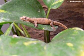 Junger Jungferngecko (Lepidodactylus lugubris)
