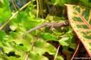 Lygodactylus mombasicus