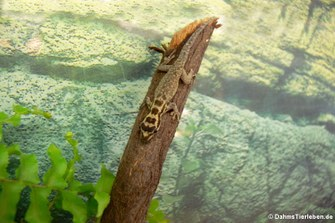 Mombasa Zwerggecko (Lygodactylus mombasicus)