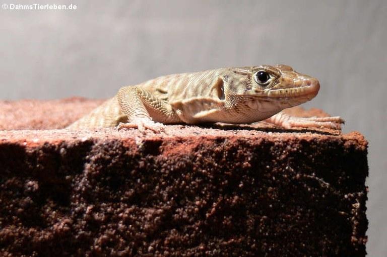 Omanosaura jayakari
