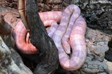 Kornnatter (Pantherophis guttatus) kurz vor der Häutung, aufgenommen bei DahmsTierlebenDahmsTierleben