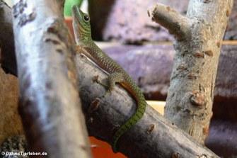 Großer Taggecko (Phelsuma kochi)