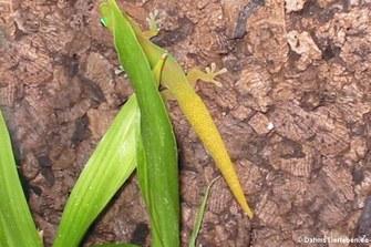 Goldstaub Taggecko (Phelsuma laticauda)