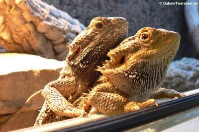 Unsere ersten Reptilien waren 2 Bartagamen (Pogona vitticeps)