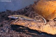 Blauschwanzskink (Trachylepis quinquetaeniata) bei DahmsTierleben