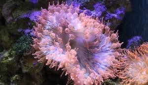 Kupferanemone (Entacmaea quadricolor)