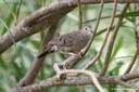 Columbina passerina nigrirostris