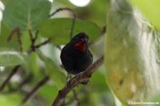 Bartgimpelfink (Loxigilla noctis ridgwayi) auf der Karibikinsel Antigua