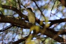 Grauer Königstyrann (Tyrannus dominicensis vorax) auf Antigua